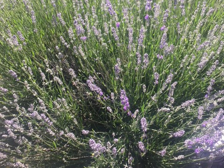 The Lavender is ready for Harvest!