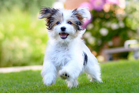 An adorable, happy puppy caught in motio