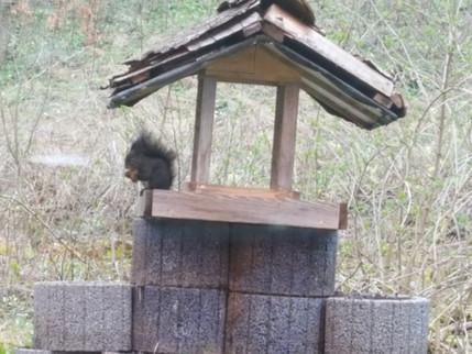 Eichhörnchen beim Vogelhaus