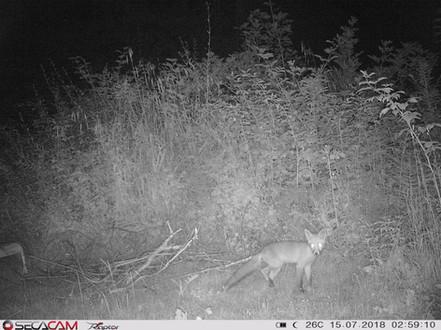 Fuchs nachts im Garten