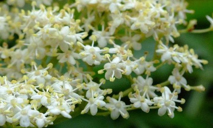 Concentrado de Flor de Sabugueiro 250 ml