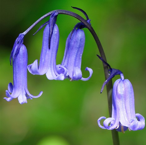 Bluebell English