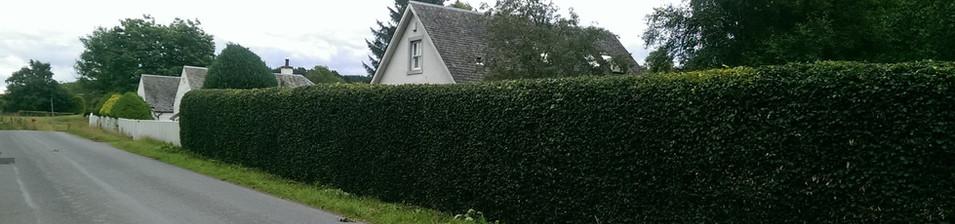 Traditional beech hedge