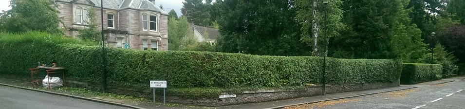 large privet hedge