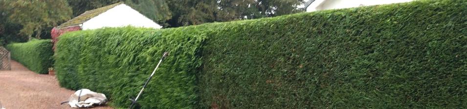 evergreen hedge