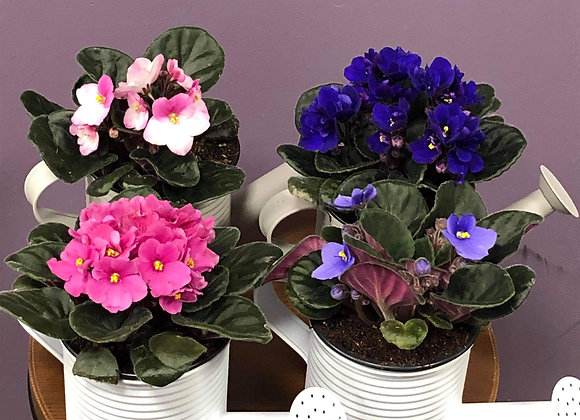 4 in african violets in watering can