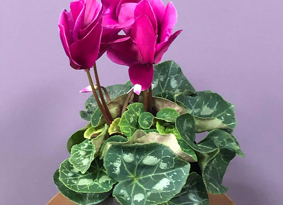6 in potted Cyclamen