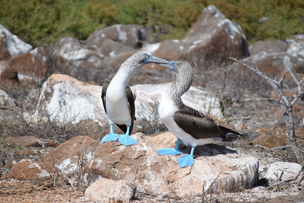 Blue-footed Bobby pair