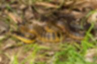 Western tiger snake, Perth.jpg