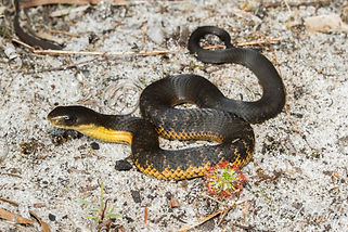 Juvenile Western tiger snake, Yallingup.