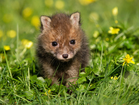 Why Should We Love Foxes?