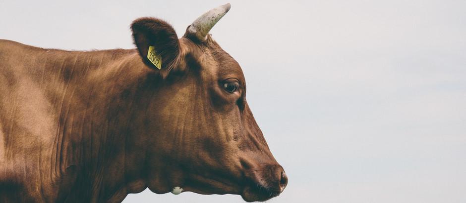 餓死的黃牛