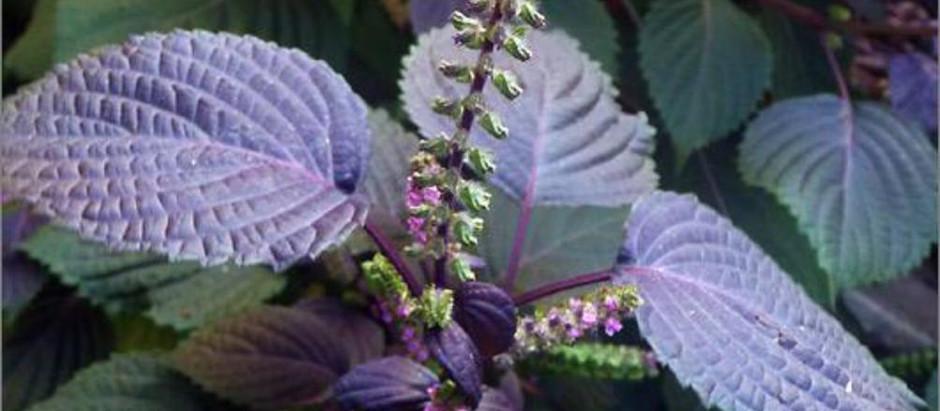 妙用紫蘇葉