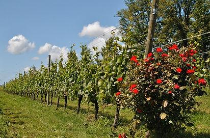 wijngaard rozen.jpg