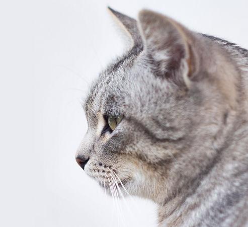 美麗的灰貓