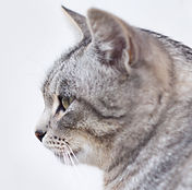 Beautiful Gray Cat