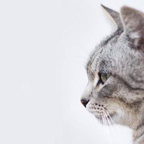 Problemas urinários em gatos