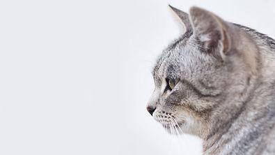 Vacker grå katt