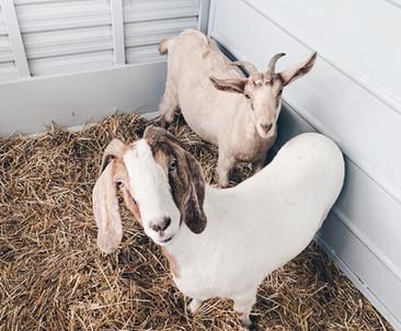 2020_Goats_edited.jpg