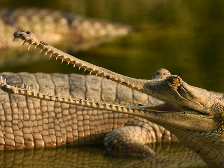Get to Know the Gharial