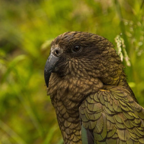 Get to know the Kea Parrot
