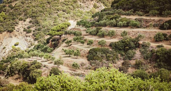 Olive Trees V.1