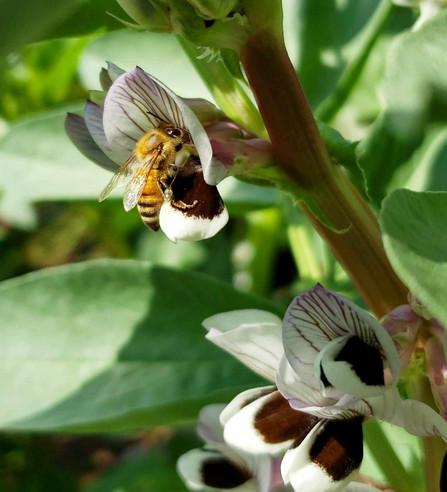 Broadbean Flower