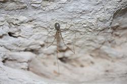 עכביש מהסוג רעדן