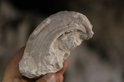 מאובן רודיסט שנמצא במערה
