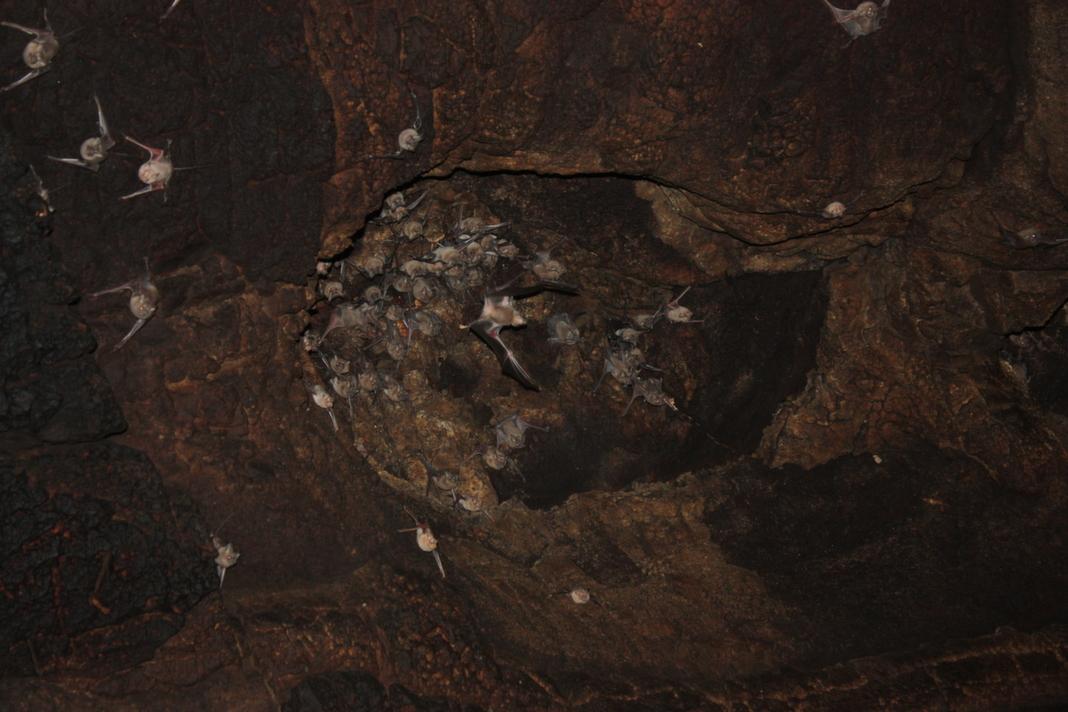 במערה קיימת אוכלוסיה גדולה של עטלפי חרקים
