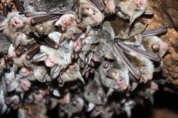 דבוקת עטלפים