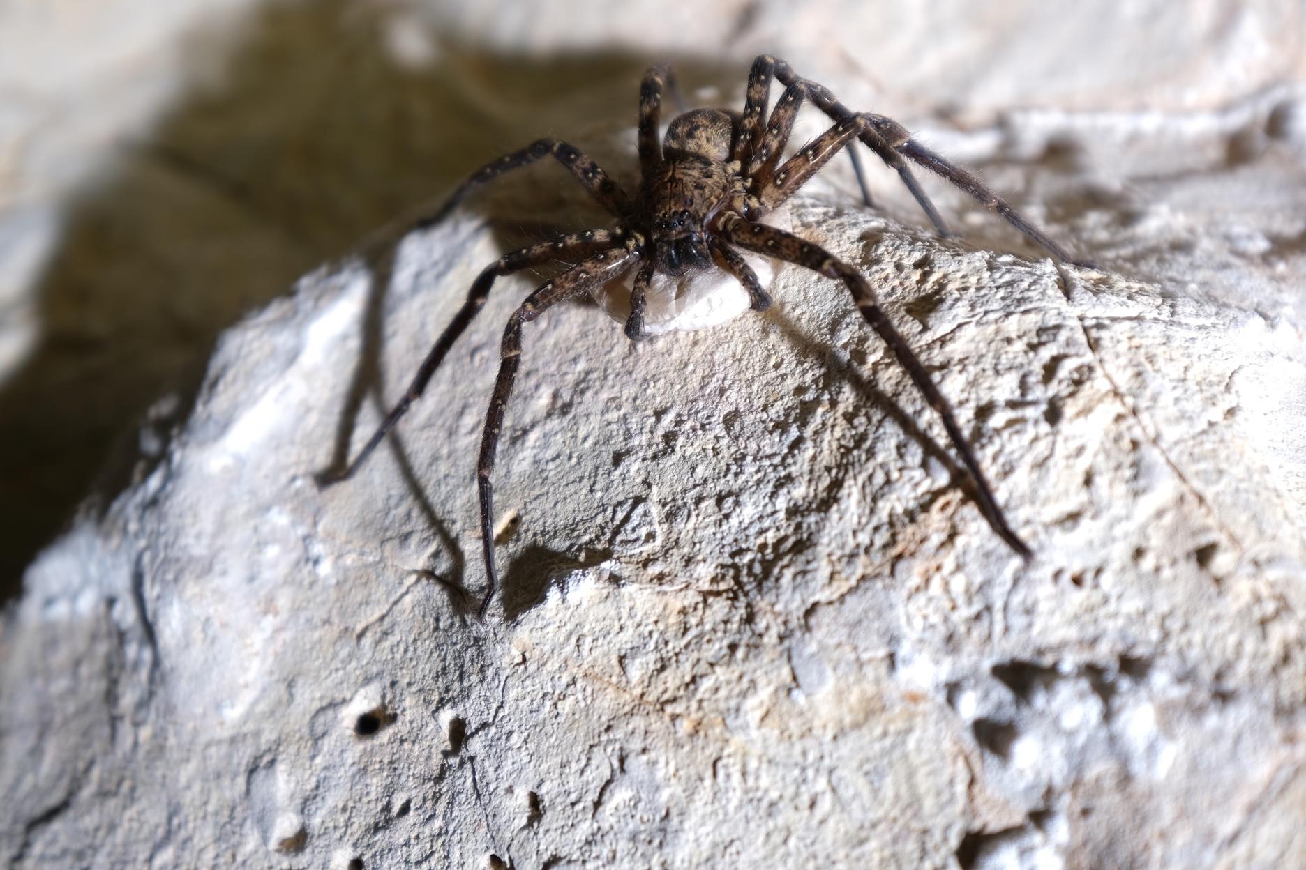 נקבת מברישן - עכביש נפוץ במערה