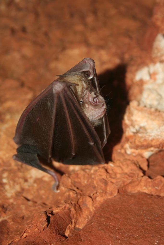 במערה משתכנת אוכלוסיה של מאות עטלפי חרקים