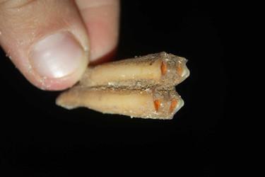 שן אוכל עשב שנמצאה במערה