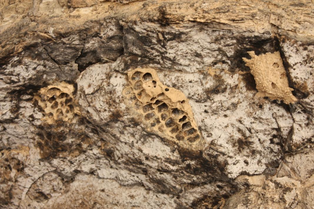 קיני בוץ של צרעה בנאית בדופן המערה