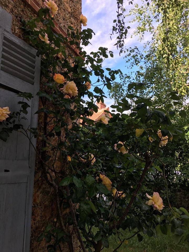 Rosier dans le jardin de Nikita Struve et de son épouse Marie Eltchaninoff, à Villebon-sur-Yvette, 2020.