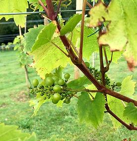 Mawddach Vineyard 1.jpg