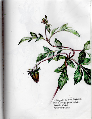 sketch book: Dahlia created in our out of hospital sanctuary. Brookline, MA. September 18, 2013
