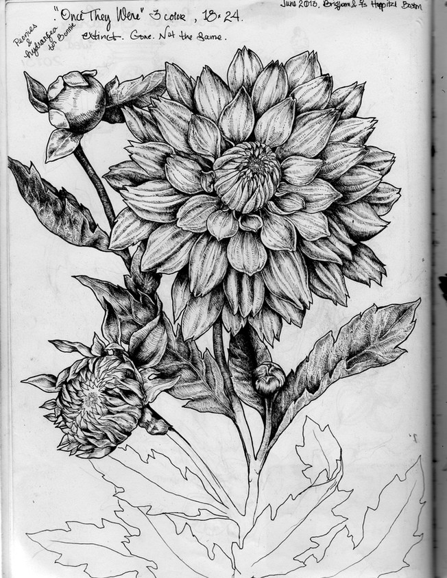 sketch book: Dahlias. Boston, MA. June 2013