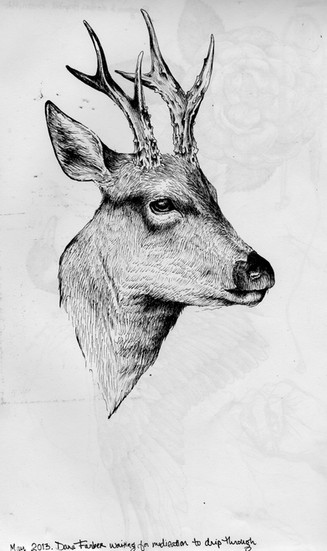 sketch book: deer. Boston, MA. May 2013