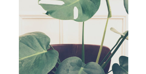 Monstera taille S