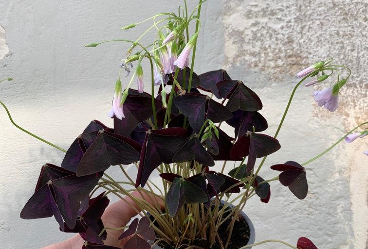 Plante d'extérieur ou d'intérieur / Oxalis