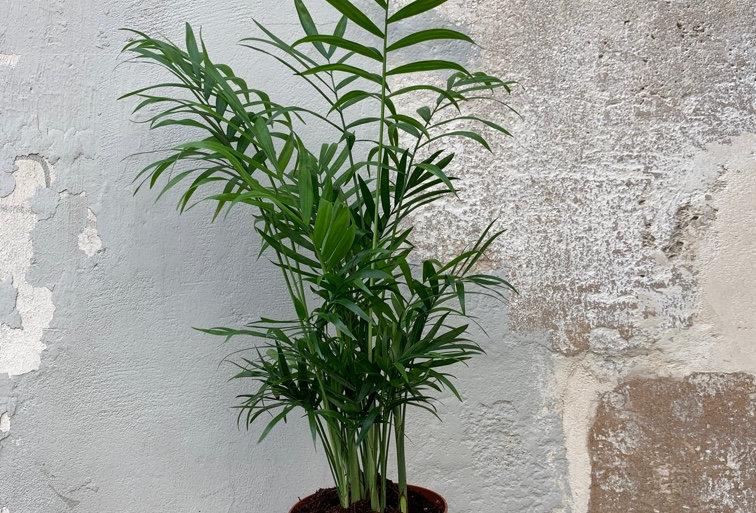 Plante d'intérieur / Chamaedorea