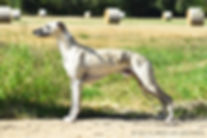 chiens-Whippet-99a39b0c-3add-6564-c908-a