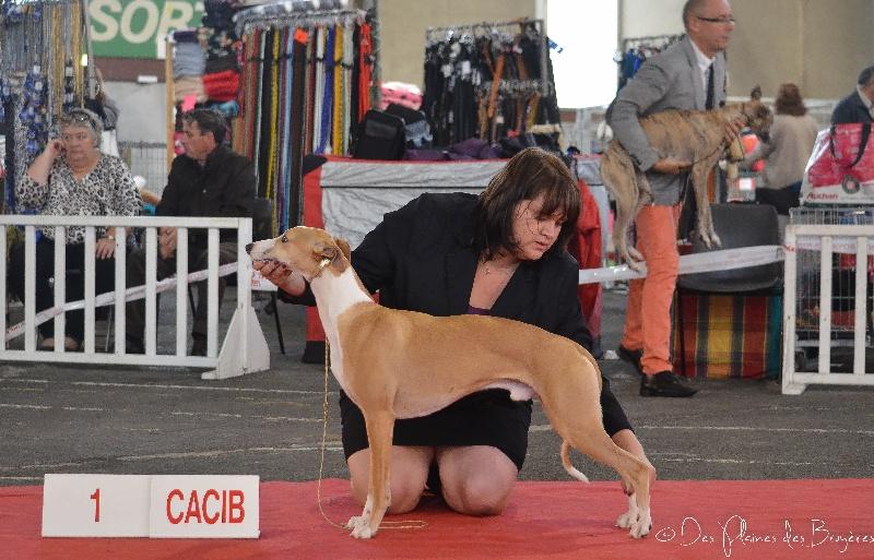 chiens-Whippet-5501d1a2-3e3e-bb14-e99f-7