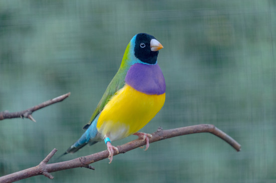 Yellow Tipped Beak Black Head Gouldian (Male)