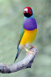 Red Head Gouldian (Male)