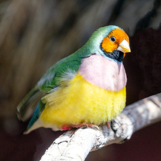 Yellow Head Gouldian (Hen)