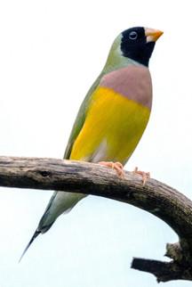 Yellow Tipped Beak Black Head Gouldian (Hen)