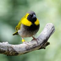 Cuban Finch (Male)